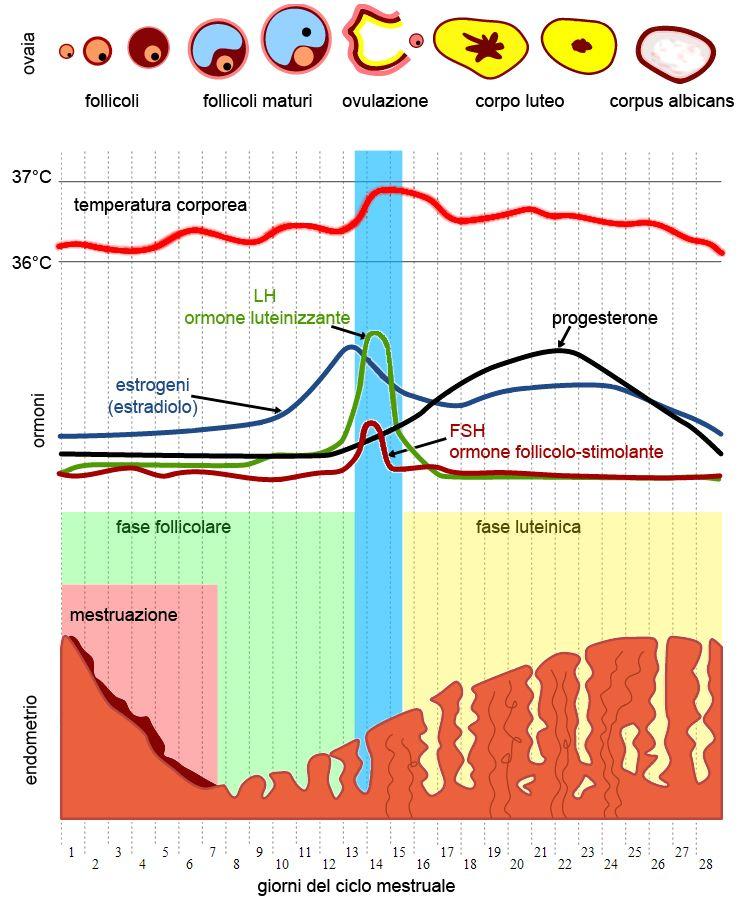 fasi ciclo mestruale